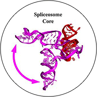 Figure 1 outlines the dynamics researchers see in the group II intron in comparison to the spliceosome.